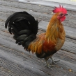 photo of Rooster